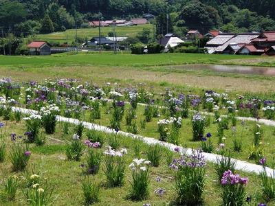 花菖蒲園.jpg
