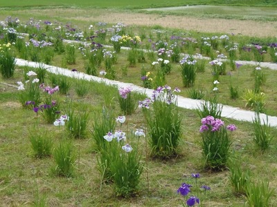 花菖蒲園2.jpg