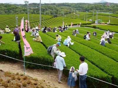 茶摘み体験2.jpg
