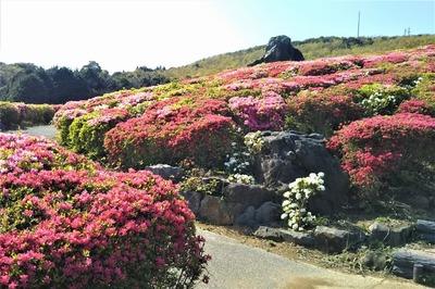 菅無田公園のツツジ3.jpg