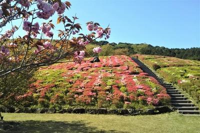 菅無田公園のツツジと八重桜.jpg