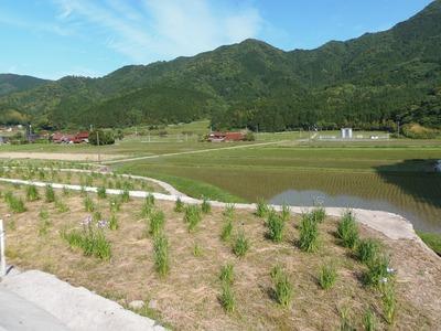菖蒲園と田んぼ.jpg