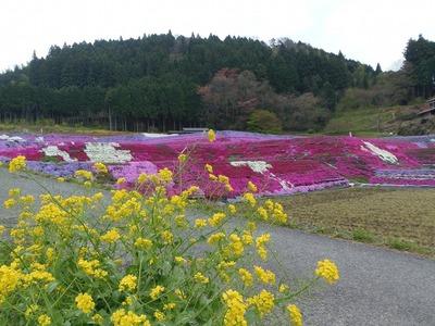 菜の花と芝桜.jpg