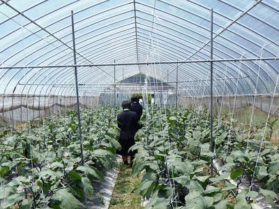萩たまげなす栽培ビニールハウス内.jpg