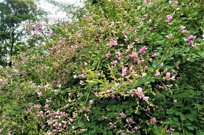 萩の花1.jpg