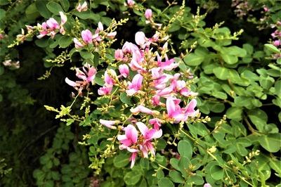 萩の花3.jpg