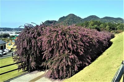 萩の花5.jpg