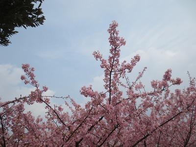 萩・河津桜2.jpg