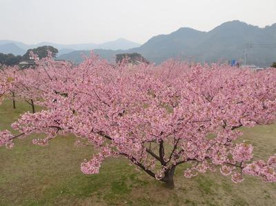萩・河津桜6.jpg