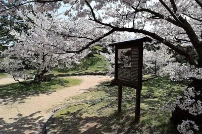 萩城天守閣説明板と桜1.jpg