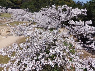 萩城天守閣跡の桜.jpg