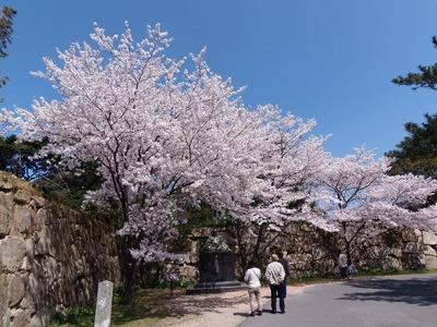 萩城跡の桜1.jpg