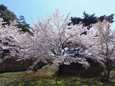 萩城跡の桜2.jpg