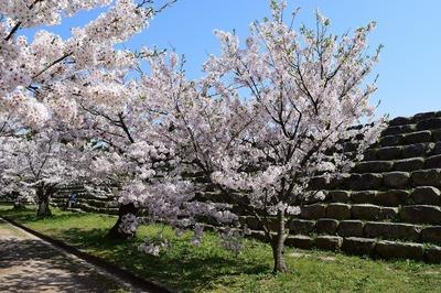 萩城跡の満開の桜.jpg