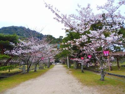 萩城跡指月公園の桜1.jpg
