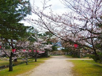 萩城跡指月公園の桜2.jpg