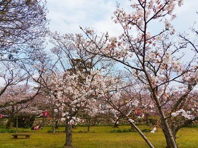 萩城跡指月公園桜2.jpg