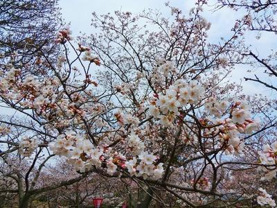 萩城跡指月公園桜3.jpg