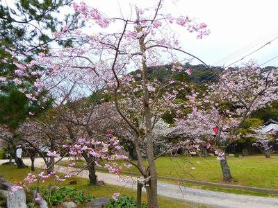 萩城跡指月公園桜4.jpg