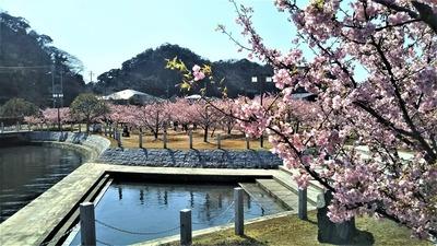 萩親水公園の河津桜1.jpg
