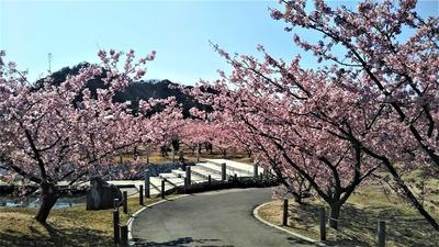 萩親水公園の河津桜2.jpg