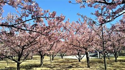 萩親水公園の河津桜4.jpg