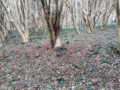 落ちた椿の花.jpg