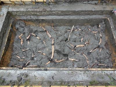 蓮の植え付け3.jpg
