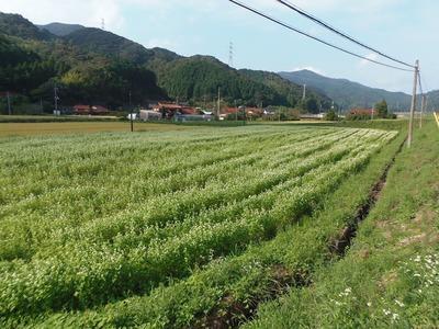 蕎麦 (そば)の花2.jpg