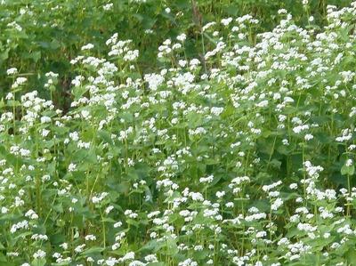 蕎麦 (そば)の花4.jpg