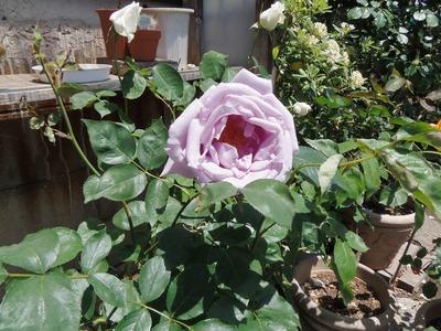 薔薇3.jpg