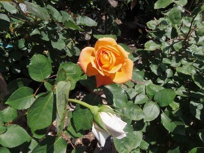 薔薇4.jpg