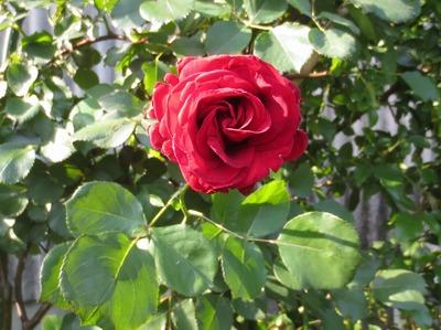 薔薇5.jpg