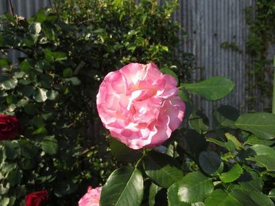 薔薇6.jpg