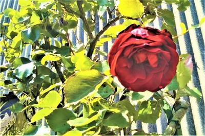 薔薇7.jpg