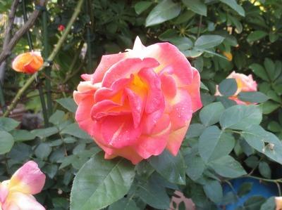 薔薇8.jpg
