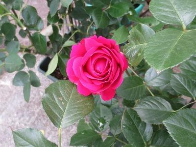 薔薇9.jpg