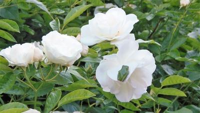 薔薇とケロヨン.jpg