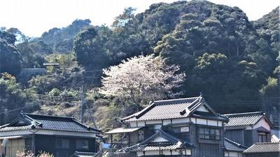薬師山の桜2.jpg