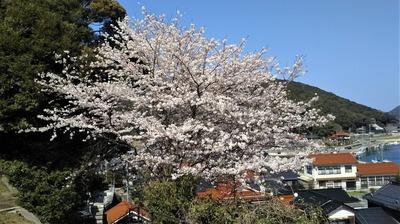 薬師山の桜4.jpg
