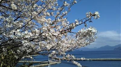 薬師山の桜5.jpg