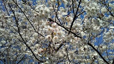 薬師山の桜6.jpg