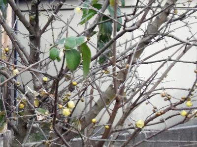 蝋梅の開花2.jpg