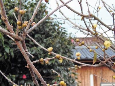 蝋梅の開花3.jpg