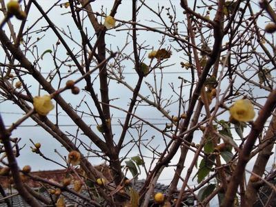 蝋梅の開花4.jpg