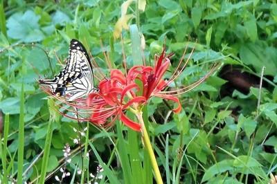蝶と彼岸花7.9.8.JPG