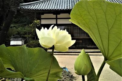 西園寺の青蓮4.jpg