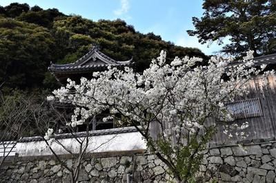 西圓寺の桜.jpg