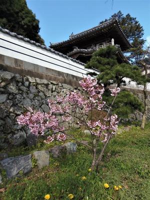 西圓寺の陽光桜1.jpg