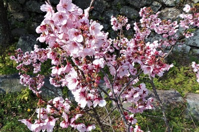 西圓寺の陽光桜2.jpg